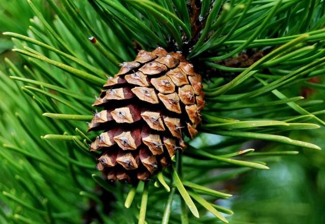 medicament pentru conuri de pin pentru articulații